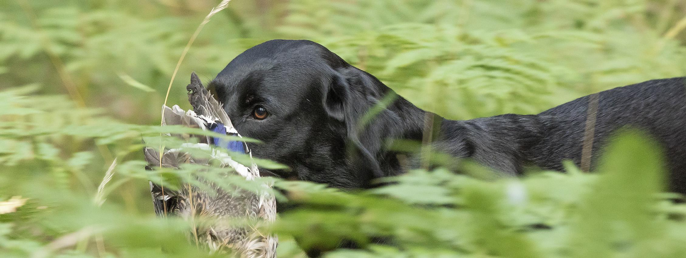 svart labrador apporterar